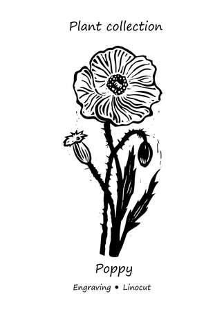Poppy plant. Poppy vector. Poppy flower vector. Floral illustration. Wild plant illustration. Engraving vector Poppy flower.