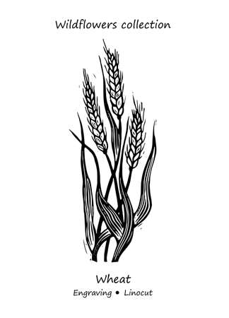 Steppe wheat plant. Wheat vector. Wheat flower vector. Floral illustration. Wild plant illustration. Engraving vector wheat flower.