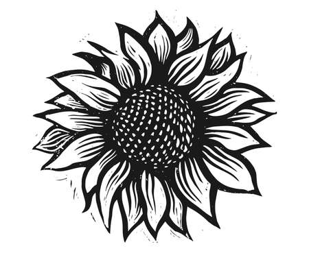 Picture of a sunflower. Sunflower illustration. Flower engraving. Sunflower flower vector. Sunflower engraving.