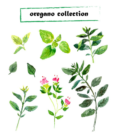 Vector set of watercolor oregano herbs on white background.