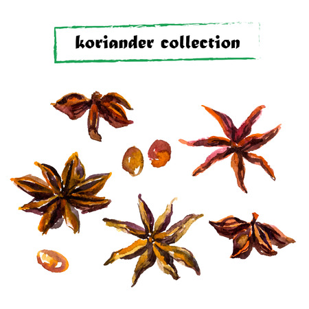 koriander: Watercolor set of coriander on white background. Herbs collection.