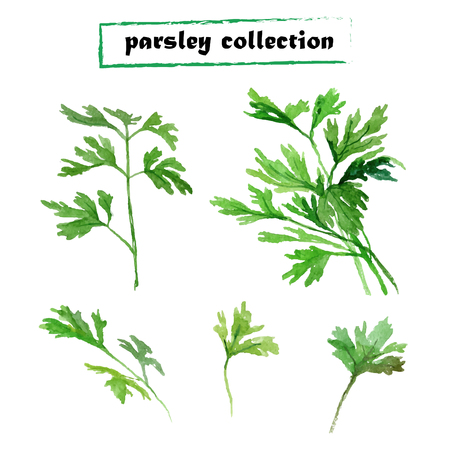 potherb: Vector set of watercolor parsley on white background. Herbs vector collection.