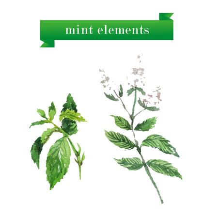 basil's: Vector set of watercolor mint brunches. Herbs elements design.