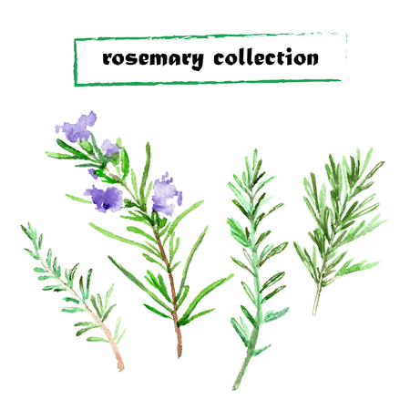 basil herb: Vector set of watercolor rosemary. Herbs collection on white background.