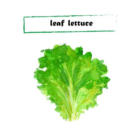 leaf lettuce: Vector set of watercolor leaf lettuce. Herbs collection on white background. Illustration