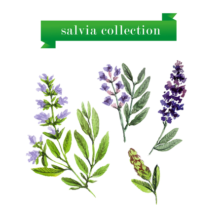 officinalis: Vector set of watercolor salvia twigs on white background. Herbs design.