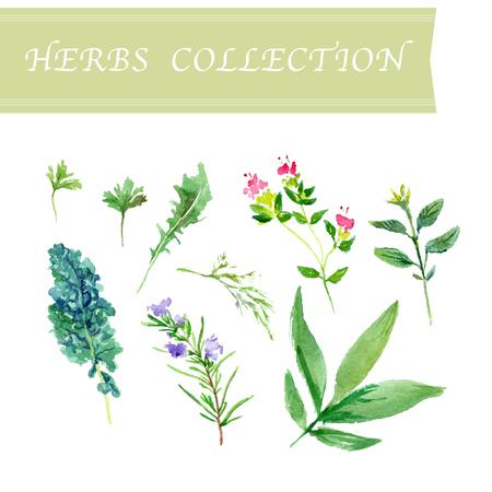 tomillo: Colección de vector de hierbas de la acuarela en el fondo blanco.
