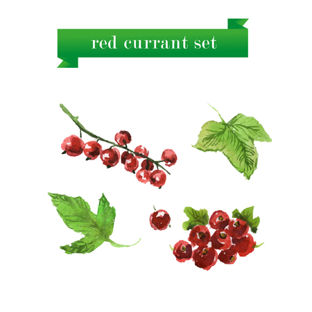 red currant: Vector set of watercolor red currant on white background. Fresh food illustration. Good for magazine and book articles, poster design.