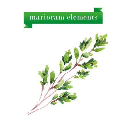coriander: Vector set of watercolor marioram elements on white background.