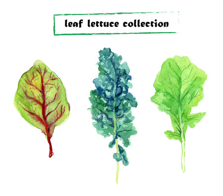 leaf lettuce: Vector set of watercolor leaf lettuce. Herbs collection on white background. Illustration