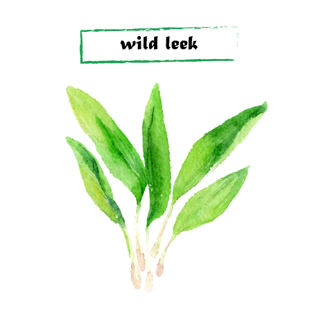 ravizzone: Vector illustration of wild leek on white background.