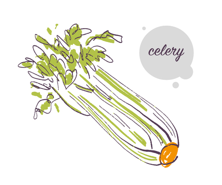 Vector hand drawn illustration of fresh raw calery bunch vegetable isolated on white background. Sketch style. Healthy food element. Good for menu, banner, packaging design etc.