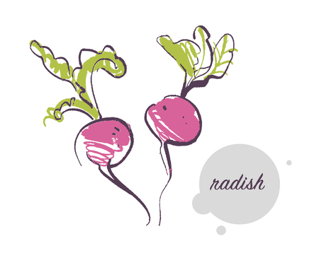 Vector hand drawn illustration of fresh raw radish vegetable isolated on white background. Sketch style. Healthy food element. Good for menu, banner, packaging design etc.