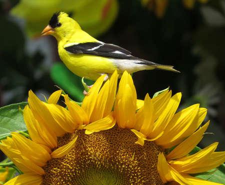 Amerikaanse distelvinkvogel zat op een felgele zonnebloem in een tuin, Carduelis tristis Stockfoto
