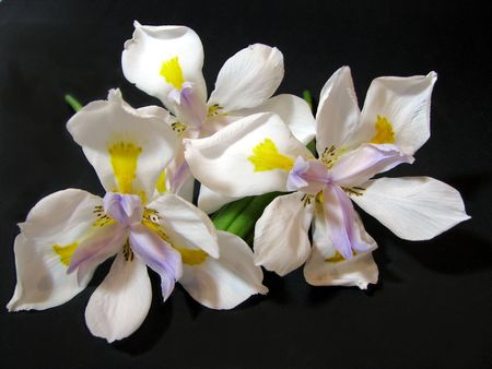 Three African Iriss Stock Photo