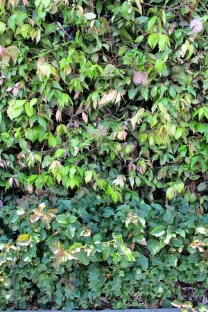 Lillipilli Hedge photo