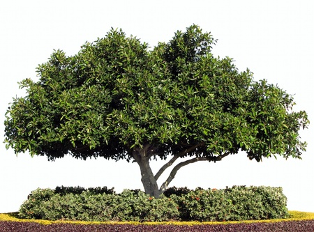 fig tree: Isolated Moreton Bay fig Tree