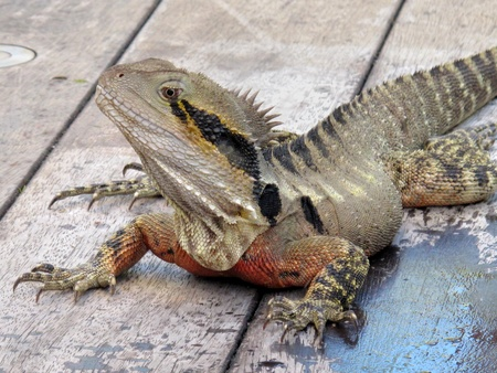 primal: Australian Eastern Water Dragon 2