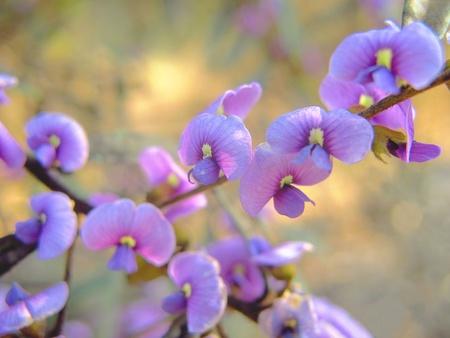 faboideae: Australiano fiore Pea