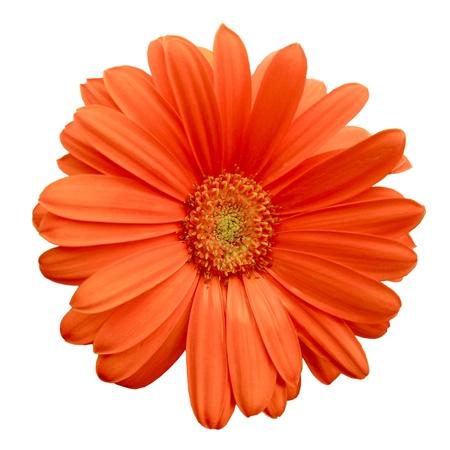 marguerite: Isolé Orange Gerbera Daisy Banque d'images