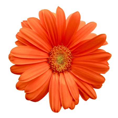 Isolated Orange Gerbera Daisy Stock Photo