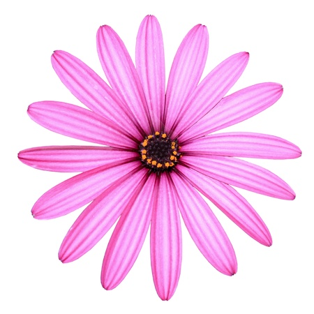 Isolated Pink Daisy photo