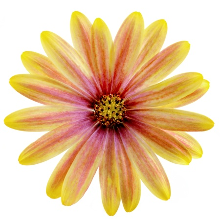 Isolated Yellow and Pink Daisy photo