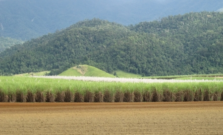 sugar cane farm: Canefields and Blue Mountains  Stock Photo
