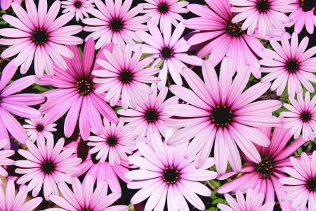 Pink Daisies Background photo