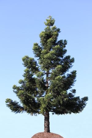 arbol de pino: Aislada del árbol de pino Foto de archivo