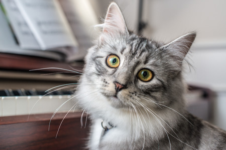 Siberische Boskat bij de Piano