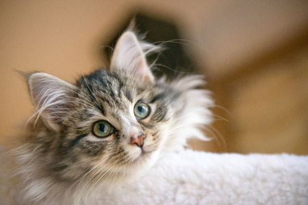 aloft: A young Siberian Forest Cat views the world from aloft. Stock Photo