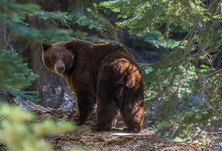 oso negro: Oso negro en el Parque Nacional Sequoia. Esta es una osa. Después de esta foto también vimos 2 cachorros se arrastran detrás de ella. Ella había estado cavando en un tronco caído. Foto de archivo