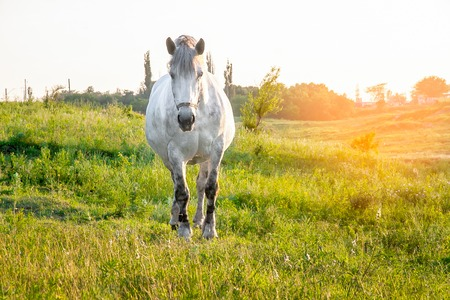 gray horse standing in high grass in sunset light, yellow and green background Фото со стока