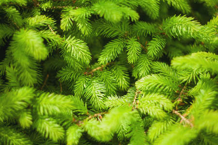 Norway spruce - Picea abies or European spruce new needles. Natural background texture. Selective focus blur.