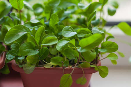 Growing herbs on the windowsill. Young sprouts of arugula in a pot on a white windowsill.