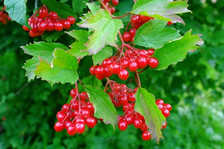 guelder rose berry: A close-up of ripe arrowwood on a summer day