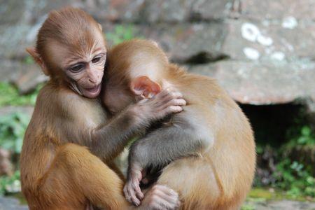 macaque: Baby rhesus macaque monkeys hugging in Kathmandu