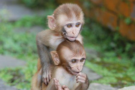 macaque: B�b�s singes macaques rh�sus � Katmandou