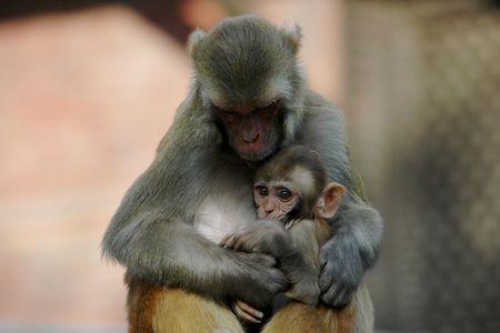 mothering: Mother rhesus macaque monkey and her in Kathmandu, Nepal Stock Photo