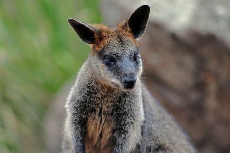 A swamp wallaby close up