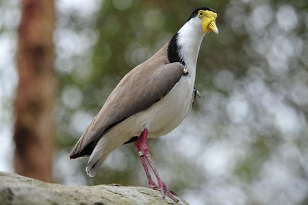 lapwing: A masked lapwing or spur winged plover
