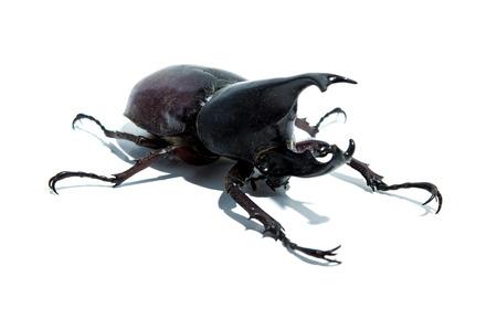 hexapoda: Rhino beetle