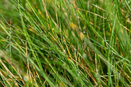 Green bright grass with water dew drops texture macro fresh field background