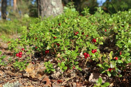Red juicy cranberry or cowberry, wild edible berries with green leaves macro close up. Sunny day in Finland forest