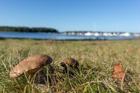 Edible mushrooms in grass sunny close up in Finland blurred background