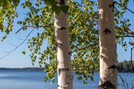 Birch trees sunny day near lake in Finland nice nature nordic finnish landscape wild daylight blurred background