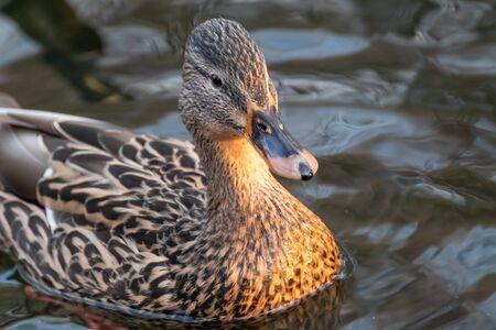 Beautiful mallard dappled brown female hen duck bird with orange beak close-up swimming on glare lake water. Animal peaceful wildlife watching Foto de archivo