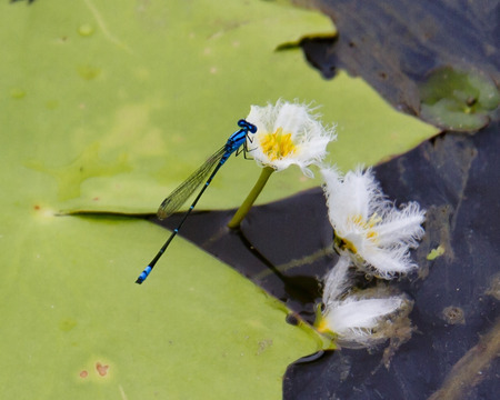 dragon fly: Dragon Fly  blue Stock Photo