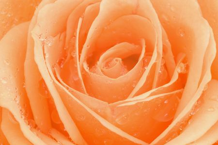 glister: Macro photo of rose with sparkling water drops Stock Photo